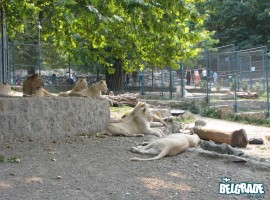 The &quot;white kings&quot; - Superstars of the Belgrade zoo